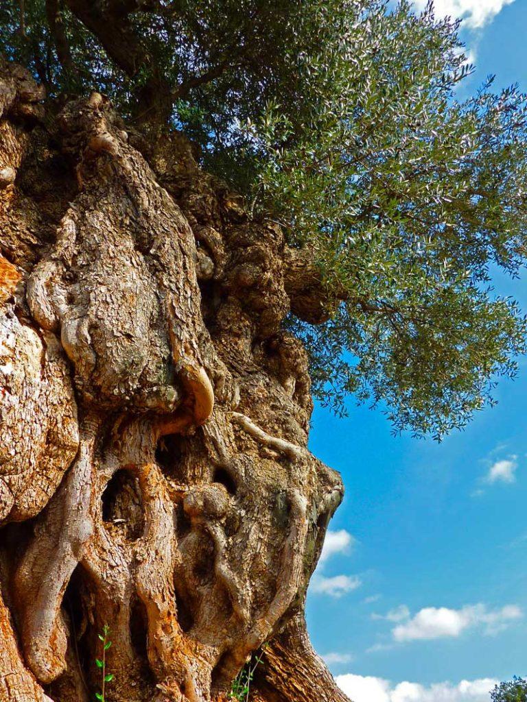 Il Cultive L Olivier culture de l'olivier | l'oulibo
