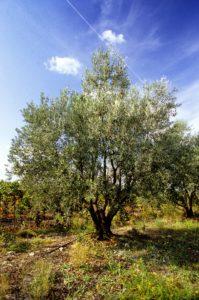 olivier-fete-de-l'olivier